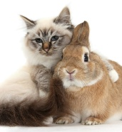 Tabby-point Birman cat and Sandy Netherland-cross rabbit, Peter
